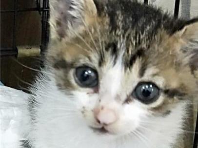彰化縣流浪狗中途之家開放認養虎斑白貓
